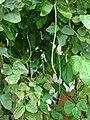 Starr 080608-7427 Vigna unguiculata subsp. sesquipedalis.jpg