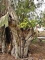 Starr 080608-7457 Ficus microcarpa.jpg