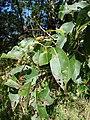 Starr 090213-2483 Syzygium cumini.jpg