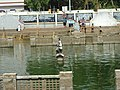 Statue of Kaliya Mardana in Guruvayoor Temple pond -20110410.jpg