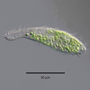 Phycodnaviridae - Zoochlorellae (green) living inside the ciliate Stichotricha secunda