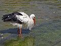 Stork لک لک 05.jpg
