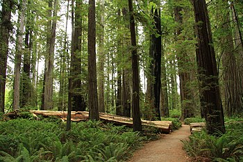 Stout Memorial Grove in Jedediah Smith Redwood...