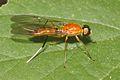 Stratiomyidae-Kadavoor-2016-03-23-001.jpg
