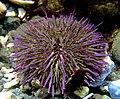 Strongylocentrotus purpuratus 1.jpg