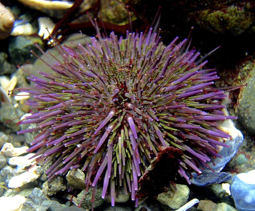 Strongylocentrotus purpuratus 1