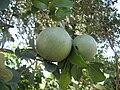 Strychnos madagascariensis 2 (4350927134).jpg