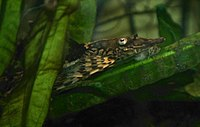 Sturisomatichthys leightoni.jpg