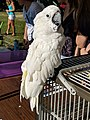 SummerFarewellFestival2019WildlifeEducatorsWhiteCockatoo.jpg