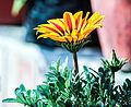 Sun flower ktm.jpg