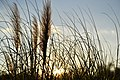 Sunset behind a patch of reeds (Unsplash).jpg