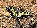 Swallow-tail. Papilio machaon gorganus - Flickr - gailhampshire.jpg