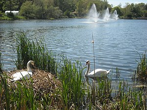 International Congress on Medieval Studies - Swan nest at Goldsworth Pond.