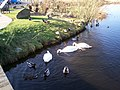 Swans and Ducks at Lough Neagh Discovery Centre, Craigavon - geograph.org.uk - 687610.jpg