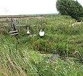 Swans and cygnets beside railway track - geograph.org.uk - 1442754.jpg