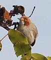 Sylvietta ruficapilla subsp ruficapilla, Menongue, Birding Weto, b (cropped).jpg