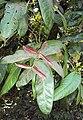 Syzygium mundagam 06.JPG