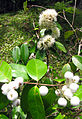 Syzygium zeylanicum Flower and Fruit.jpg