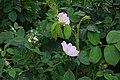 Törnros (Rosa canina) 3984.jpg
