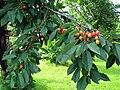 Třešně chrupky.jpg