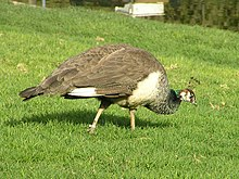 Female (peahen)