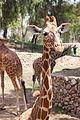 TLV Safari 170812 Giraffes 01.jpg