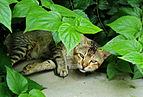 Tabby cat 26 07 2011.jpg
