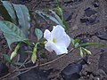 Tabernaemontana divaricata 'Flore Pleno' (319401798).jpg