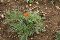 Tagetes patula - Botanischer Garten Mainz IMG 5587.JPG