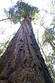 Tall Redwood (2447762019).jpg