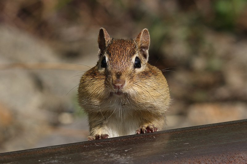 Eastern chipmunk with full cheek pouches