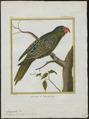 Tanygnathus lucionensis - 1700-1880 - Print - Iconographia Zoologica - Special Collections University of Amsterdam - UBA01 IZ18500264.tif