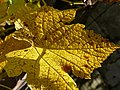 Tarnaveni - harvest - leaf - panoramio.jpg