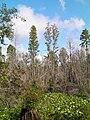 Taxodium ascendens Okefenokee 6.jpg