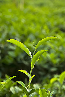 The tea plant, latin name Camellia sinensis