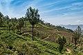 Tee plantation Sri Lanka.jpg
