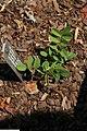 Tephrosia spicata 1zz.jpg