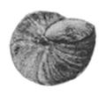 Teratobaikalia macrostoma shell 4.png