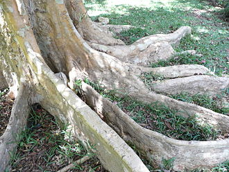 Buttress root - Buttress roots of Terminalia arjuna