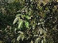 Terminalia paniculata Roth (15528911063).jpg