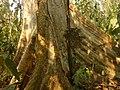Tetameles nudiflora Buttress2.jpg