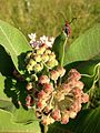 Tetraopes tetrophthalmus (Red Milkweed Beetle) on flowering Asclepias syriaca (Common Milkweed) (27294636783).jpg