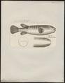 Tetrodon oblongus - 1700-1880 - Print - Iconographia Zoologica - Special Collections University of Amsterdam - UBA01 IZ15500035.tif