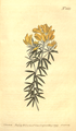 The Botanical Magazine, Plate 442 (Volume 13, 1799).png