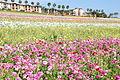The Flower Fields at Carlsbad Ranch 38 2014-04-28.jpg