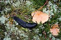 The much and varied diet of the black slug - geograph.org.uk - 580541.jpg
