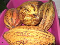 Theobroma cacao-3-yercaud-salem-India.JPG