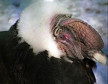 Condor-dos-andes macho
