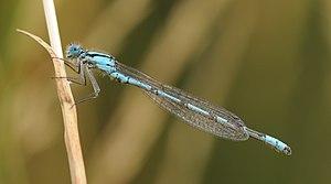 Enallagma cyathigerum