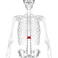 Thoracic vertebra 12 anterior.png